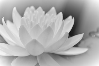 Water lily 수련