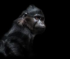 Mangabey--explored (Elizabeth Haslam) Tags: 2018 cercopitecidae habitatloss elizabethaslamphotographycom primate sandiegozoo endangered rare democraticrepublicofthecongo incaptivity congs elizabethhaslam blackcrestedmangabey blackmangabey