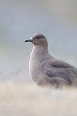 Arctic skua (Mike Mckenzie8) Tags: stercorarius parasiticus parasitic jaeger bird wild wildlife iceland