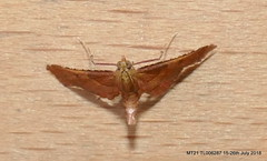 P1350146 (Pitzy's Pyx, keep snapping away!.) Tags: homegarden mothtrapping moths lumixfz1000
