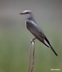 Western Kingbird (fhopper14) Tags: flycatcher perchingbirds calforinabirds passerinebirds