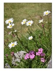 Composition florale (Charlottess) Tags: ubaye nikon5300 juillet alpesdehauteprovence fleur œillet marguerite