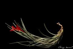 Tillandsia albertiana (Giorgio Armano) Tags: focus fiore flower fiori tillandsia albertiana helicon nikon macro