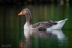 Greylag Goose (Photography - KG's) Tags: rspb wildlife greylaggeese nature bird birds animals brandonmarsh reserve