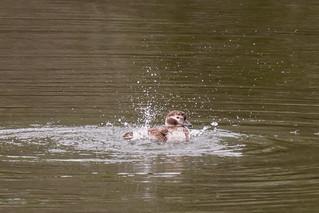 DSC_6487.jpg Long-tailed Duck, San Lorenzo River