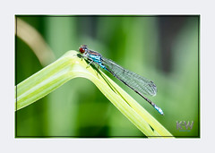 1O7A3425.jpg (kishwphotos) Tags: naturalworld wildlife dragonfly nature walpolepark parks insect attractions naturalhistory smallredeyeddamselfly geology