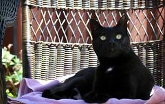 Ella, my BFF (Kerri Lee Smith) Tags: ella bff blackcats backyard summer patio patiofurniture cateyes blackandwhitecats