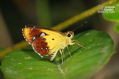 The Large Forest Bob - ผีเสื้อจิ๋วดงใหญ่ (Antonio Giudici Butterfly Trips) Tags: umphang tak