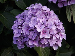Hydrangea (DorsetBelle) Tags: hydrangea flowers flora