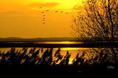 Grues cendrées sous le soleil couchant .. Lac du Der Champagne (Nathery Reflets) Tags: lac nature soleil marne hautemarne grandest perthois champagne lacduder