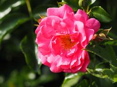 Wien Kurpark Oberlaa (arjuna_zbycho) Tags: kurparkoberlaa parkanlage 10bezirk wienergemeindebezirk gemeindebezirk favoriten róża rose rosas roses róże rosu rosae flower kwiat blume makrofoto macrophoto kwiaty blumen flowers