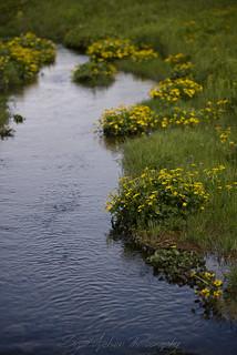Yellow Flowers next to the Stream at Seljalandsfoss