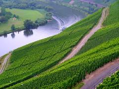 Weinbau im Moseltal bei Pünderich (Diepflingerbahn) Tags: weinbau vineyard grapes pünderich marienburg moselle mosel moseltal rebbau