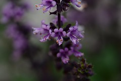 Purple basil from my greenhouse. (Tonny Christensen) Tags: spice sigma105mmf28 greenhouse colors