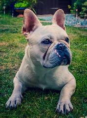 Cute  - Albi the French Bulldog (Classic Chrome) (Fujifilm X100F Trans-X Fixed Lens Compact) (1 of 1) (markdbaynham) Tags: fuji fujifilm fujiuk dog canine pet cute bulldog frenchbulldog fujista fujix transx apsc fixedlens fujinon prime primelens x100f fujix100f compact albi