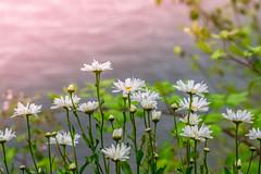 Day light Daisy. (Omygodtom) Tags: existinglight sunlight senery scene tamron flower flickr dof gold leica silhouette outside d7100 digital usgs
