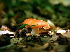 M... (R_Ivanova) Tags: nature macro mushroom fungi forest colors color outdoor red green summer leaf light sony rivanova риванова гъби природа макро цветно