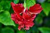 Hibiscus (chooyutshing) Tags: flower hibiscus