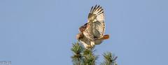 BIRDS (Robert Strickland) Tags: beak birds branch downy feather nature ornithology songbird songbirds tree wildlife wing wings woodpecker