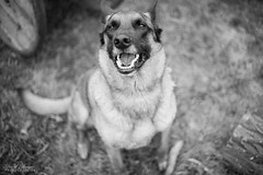 Sky - Berger Malinois (pilou.basco) Tags: berger malinois chien dog company compagnie domestique beautiful beauty cute best friend meilleur ami canon eos 6d 50mm french france 2018 exterieur outdoor