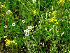 Wildflowers growing on Bluebird Estates (Trinimusic2008 -blessings) Tags: trinimusic2008 judymeikle nature today bluebirdestates walk summer july 2018 canada