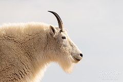 Adult Mountain Goat looking into the sun