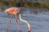 Phoenicopterus. (Ciminus) Tags: naturesubjects aves ornitology nikond500 ciminus birds afsmicronikkor105mmf28gedvrii ciminodelbufalo flamants uccelli fenicotterorosa phoenicopterus parcodeldeltadelpo flamingos oiseaux fenicottero afsnikkor500mmf4gedvrii wildlife ornitologia nature specanimal coth coth5