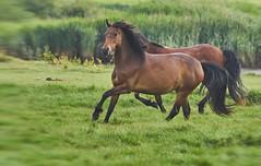 """Come On Then, Who Needs Royal Ascot...."" (2) (paulinuk99999 (lback to photography at last!)) Tags: paulinuk99999 newforestpony ponies wild british mammal wildlife stanpitmarsh hampshire dorset race play fun mare stallion movement canter gallop sal70400g"