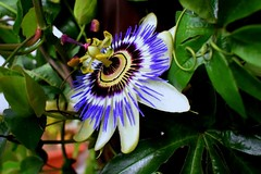 Passion flower (ste dee) Tags: passionflower greenleaves tendrils flower nature outdoors plant phonepic cellphone samsung