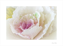 Ornamental Cabbage – Brassica Oleracea var. Acephala (Meu :-)) Tags: ornamentalcabbage brassicaoleraceavaracephala flower plant soft pastel dreamy