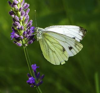 Kohlweißling -  cabbage butterfly ...
