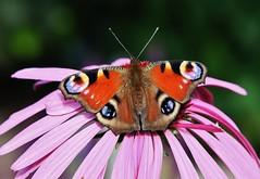 Tagpfauenauge (Aglais io) (Hugo von Schreck) Tags: hugovonschreck tagpfauenauge aglaisio makro macro insect insekt butterfly schmetterling falter canoneos5dsr tamron28300mmf3563divcpzda010 buzznbugz