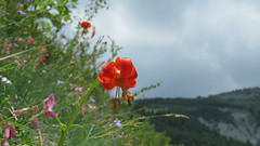 Composition 1000 m (bernard.bonifassi) Tags: bb088 06 alpesmaritimes 2018 juin counteadenissa canonsx60 thiery fleur lis paysage