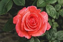 La rose (Photography Christophe.H) Tags: fleur flower rose rosa rouge red art exterieur reflex leaf feuille canon 700d 1855mm 1855
