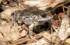"Dusky Toadlet (Uperoleia fusca) (Gus McNab) Tags: duskytoadlet uperoleiafusca amphibian amphibians frog frogs herp herpetofauna herpetology amphibia australia ""australian frogs"" frog"" amphibians"" amphibian"" myobatrachidae wildlife ""wildlife photography"" fauna"