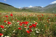 Castelluccio di Norcia (annalisabianchetti) Tags: castellucciodinorcia flowering flowers fioritura landscape paesaggio umbria italy beauty rural rurale mountains montagne fiori