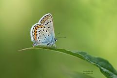 Male Silver Studded Blue (Louise Morris (looloobey)) Tags: aq7i4906 silverstuddedblue male shropshire early matt june2018