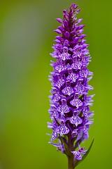 Early marsh orchid (Dactylorhiza incarnata) (victorhobson55) Tags: held hand macro f28 sigma 105 d7200 nikon bokeh wild beautiful vivid purple stunning early marsh orchid