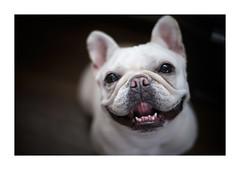 Boo (gol-G) Tags: fujifilm xpro2 fujifilmxpro2 nokton 35mm f12 voigtlandernokton35mmf12aspherical digital color japan bokeh dog frenchbulldog