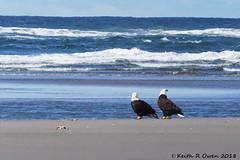 Bald Eagle (Haliaeetus leucocephalus) (youngwarrior) Tags: oregon fortstevens fortstevensstatepark bird eagle baldeagle haliaeetusleucocephalus ocean pacificocean surf