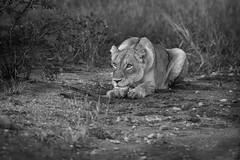_Q4I3556-Edit (buddy4344) Tags: kambaku southafrica timbavati lion lioness