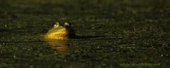 kissed frog (don.white55 That's wild...) Tags: americanbullfroglithobatescatesbeianus thatswildnaturephotography donwhite canoneos70d tamronsp150600mmf563divcusda011 tamron150600mm 150600mm 1640secf63600mm100iso animal amphibian frog duckweed bog goldenhour green gold froghabitat negativespace rana ángulobajo anfibio pantano lowanglelight marsh