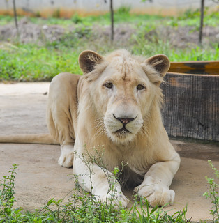 A white lion at the zoo