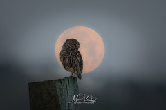 Lone hunter (fire111) Tags: little owl steenuil hunter birding wild wildlife bird prey nikon moon night dark alone