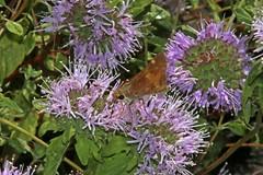 IMG_4651 (edward_rooks) Tags: sierraazulopenspacepreserve bald mountain mount umunhum insects wildflowers butterflies bees wasps assassin bug
