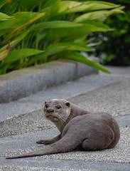 Otter pup (Robert-Ang) Tags: otter puppy wildlife nature chinesegarden singapore animalplanet