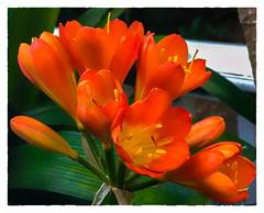 et voilà! (Timothy Valentine) Tags: 2018 cliviaminiata home pottedplant 0618 eastbridgewater massachusetts unitedstates us