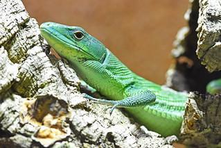 zelenotrbi gušter (Gastropholis prasina / Green Keel-bellied Lizard / Grüne Baumeidechse)