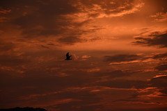 Lucky me (dylangaughan43) Tags: sunset clouds seagull bird longisland color orange summer nikonphotography nikon nikond5200 stocklense silhouette