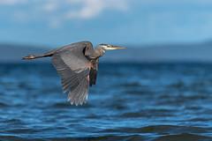 Great Blue Heron #3 in explore 5 July, 2018 (Melanie Leeson) Tags: birdsofcanada greatblueheron birdsofbritishcolumbia melanieleesonwildlifephotography ardeaherodias birds nikond850 wadingbirds dlsr nikkor200500mm blingsister birdsofnorthamerica nikon